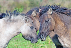 Three Konik horses in a meadow Stock Photos