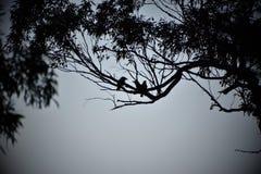 Three Kookaburras. A silhouette of three kookaburras in a tree Stock Images