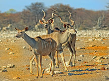 Three Kudu on the dry plains Stock Image
