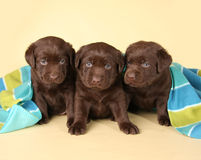 Three lab puppies. Three chocolate labrador retriever puppies royalty free stock image