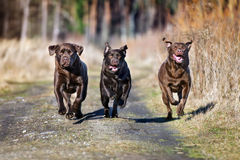 Three labrador dogs running outdoors Stock Photography
