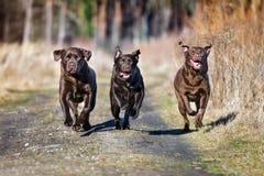 Three labrador dogs running outdoors. Brown labrador retriever dogs outdoors Stock Photography