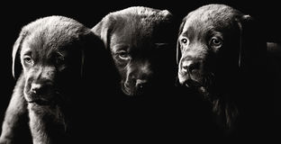 Three Labrador Puppies Stock Image