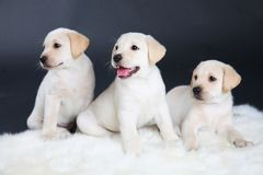 Three Labrador puppies Royalty Free Stock Image