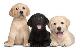 Three Labrador puppies, 7 weeks old