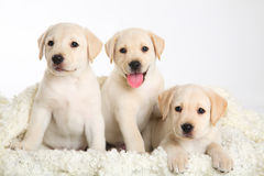 Three Labrador puppy Stock Photos