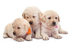Three labrador puppy girls showing their adorable look. With colorful scarves - cuddling up to each other royalty free stock photos