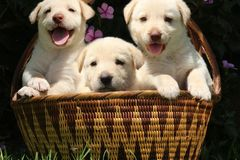Three cute white puppies in woven basket Royalty Free Stock Photos