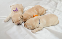 Three labrador retriever puppies Royalty Free Stock Photo