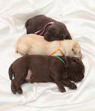 Three labrador retriever puppies. (one week old stock photography