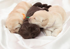 Three labrador retriever puppies. (one week old stock images