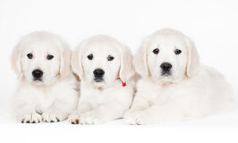 Three golden retriever puppies lying together Stock Photography