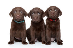 Three Labrador Retriever puppies. On white background royalty free stock photo