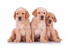 Three labrador retriever puppy dogs sitting Royalty Free Stock Images