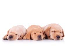 Three labrador retriever puppy dogs sleeping Royalty Free Stock Photo