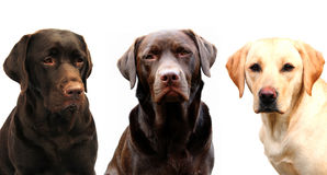 Three labrador retrievers Royalty Free Stock Photography