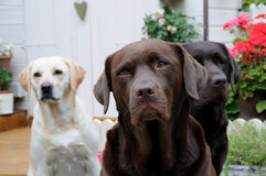 Three labradors Stock Photo