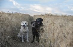 Three labradors in a barley field. Chocolate, yellow royalty free stock image