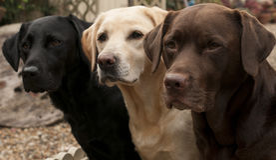 Three labradors Stock Images