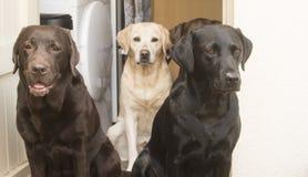 Three labradors Royalty Free Stock Photo