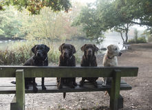 Three labradors Royalty Free Stock Image