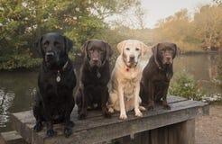 Three labradors Stock Photos