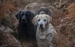Free Three Labradors In The Colourful Autumn Forest Stock Image - 162217411