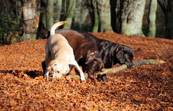 Three labradors and one stick Stock Images