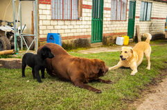 Three Labradors Playing. Three different colored Labradors playing together Stock Images