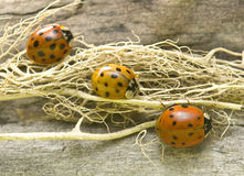 Three ladybirds Royalty Free Stock Photos