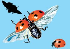 Three ladybirds on blue background Stock Photo