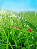 Three ladybirds on a gass Stock Photo