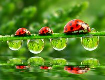 Three ladybugs. Royalty Free Stock Image