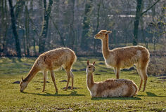 Three lamas on pasture Royalty Free Stock Image