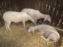 Three lambkin. Three brown lamb in the fold Stock Photography
