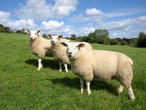 Three Lambs Royalty Free Stock Photo