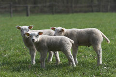Three lambs Royalty Free Stock Images