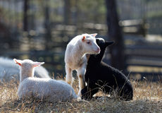 Three lambs enjoying life Stock Photos