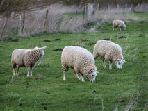 Three Lambs in Field  One year Old Stock Images