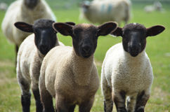 Three lambs in the field Stock Image