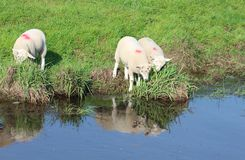 Three lambs, grassy bank with reflections in water Stock Photo