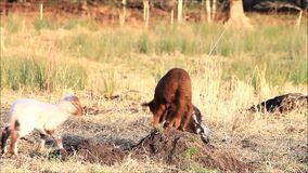 Three lambs jumping around, spring, white, brown, black stock footage