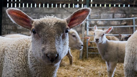 Three lambs looking to camera. A collection of young lambs standing of a floor of straw hey Royalty Free Stock Photo