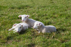 Three Lambs. Lying on a pasture Royalty Free Stock Photos