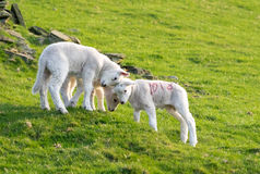 Three lambs playings Royalty Free Stock Photography
