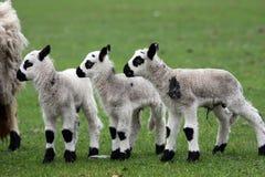 Three lambs in a raw Stock Photos