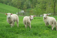 Three lambs standing stock photos