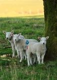 Three lambs standing under a tree. Three young lambs stand sheltering under a tree looking very apprehensive royalty free stock photo