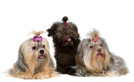 Three lap-dog in studio Royalty Free Stock Image
