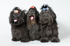 Three lap-dogs in studio. On a neutral background Stock Image